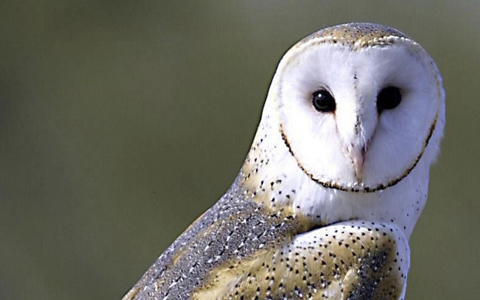 closeup of a white barn owl face