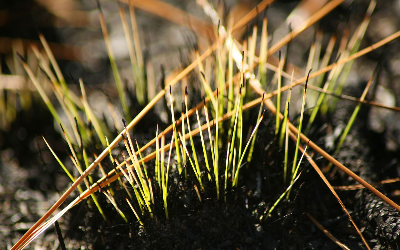 New Growth of small plants emerge after a prescribed fire.