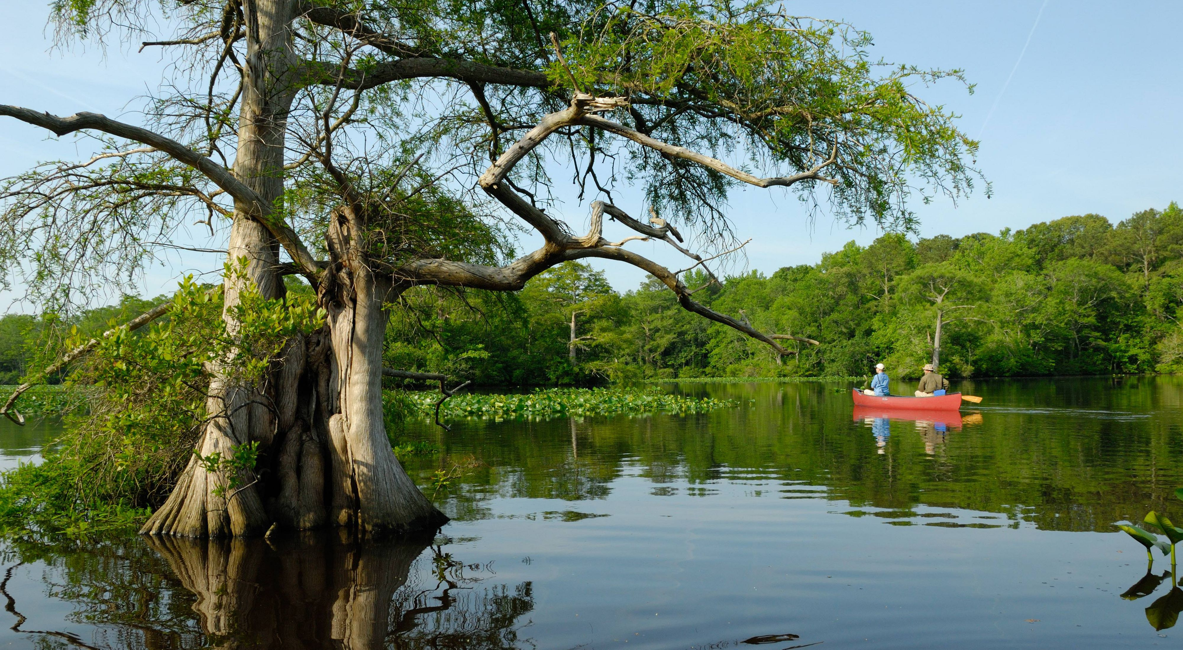 Two people paddle a red canoe by a towering bald cypress tree in Nassawango Creek.