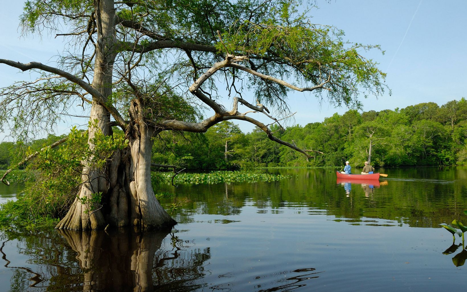 Canoeing past a cypress tree on Nassawango Creek.
