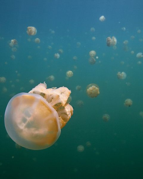 in jellyfish lake (a marine lake and popular tourist spot) in the rock islands, Palau