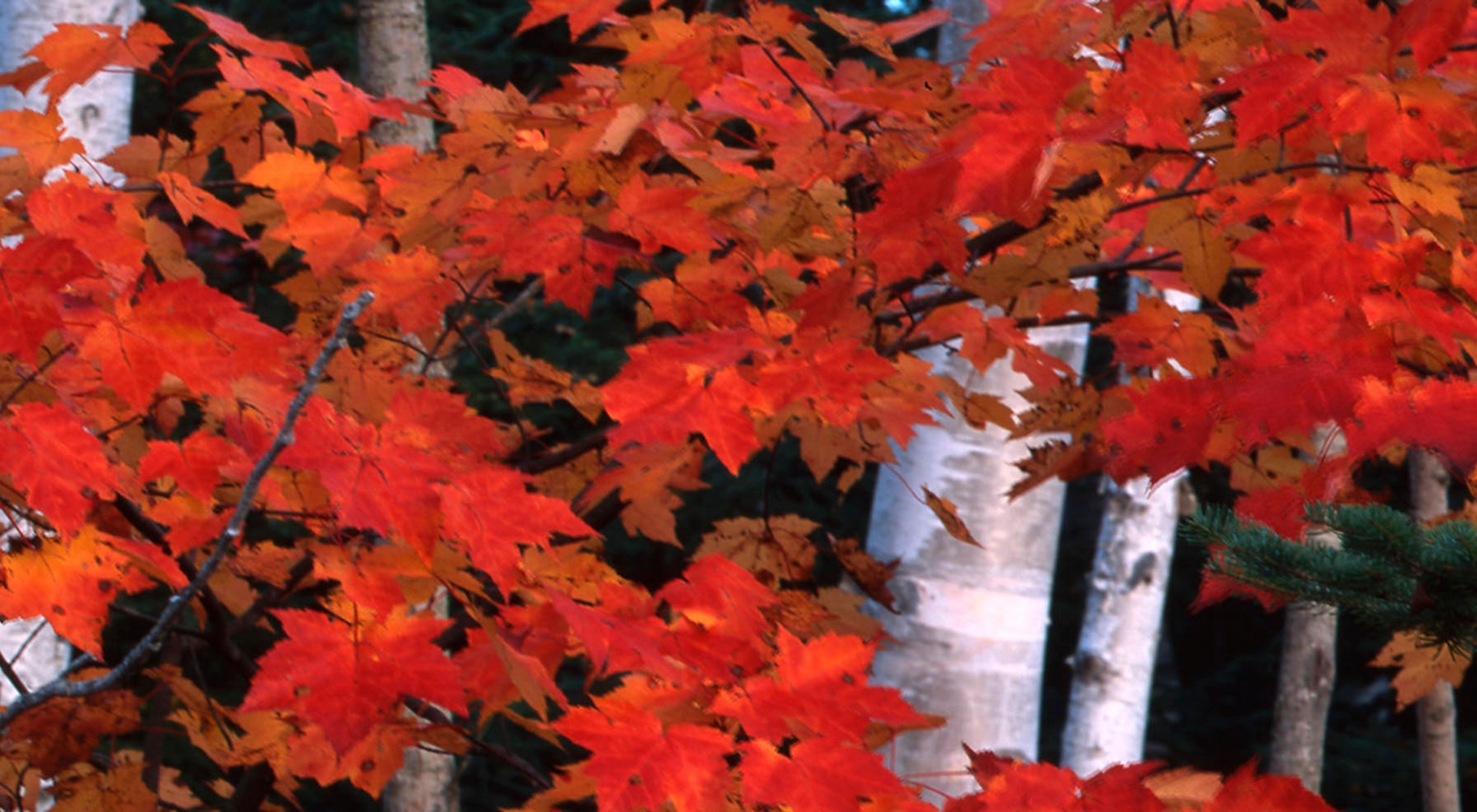 Bright red and orange maple leaves amongst the tree trunks of a forest.