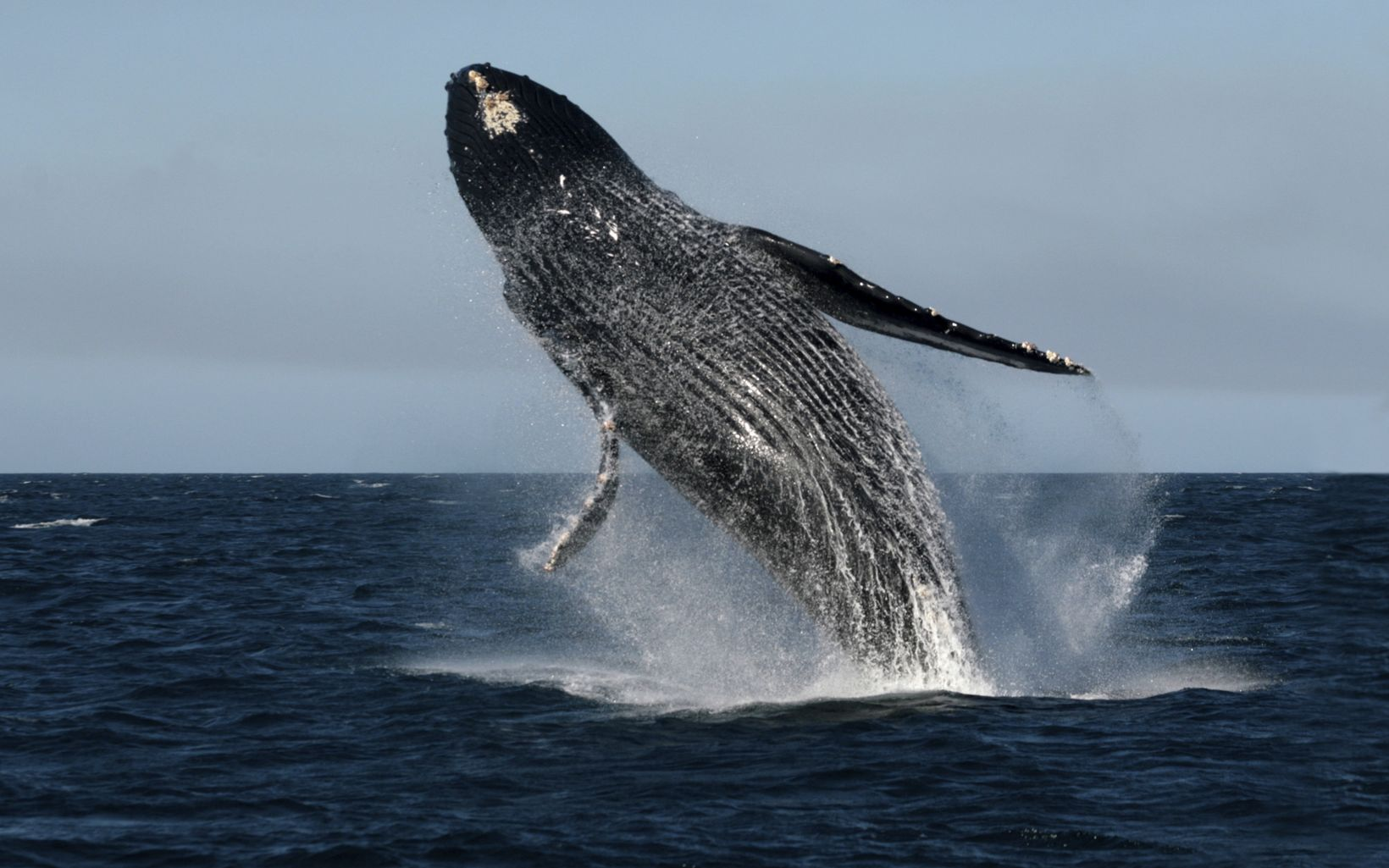 A male humpback whale (Megaptera novaeangliae) leaps acrobatically in a characteristic reproductive activity off the Pacific coast of Mexico's Baja California Peninsula.