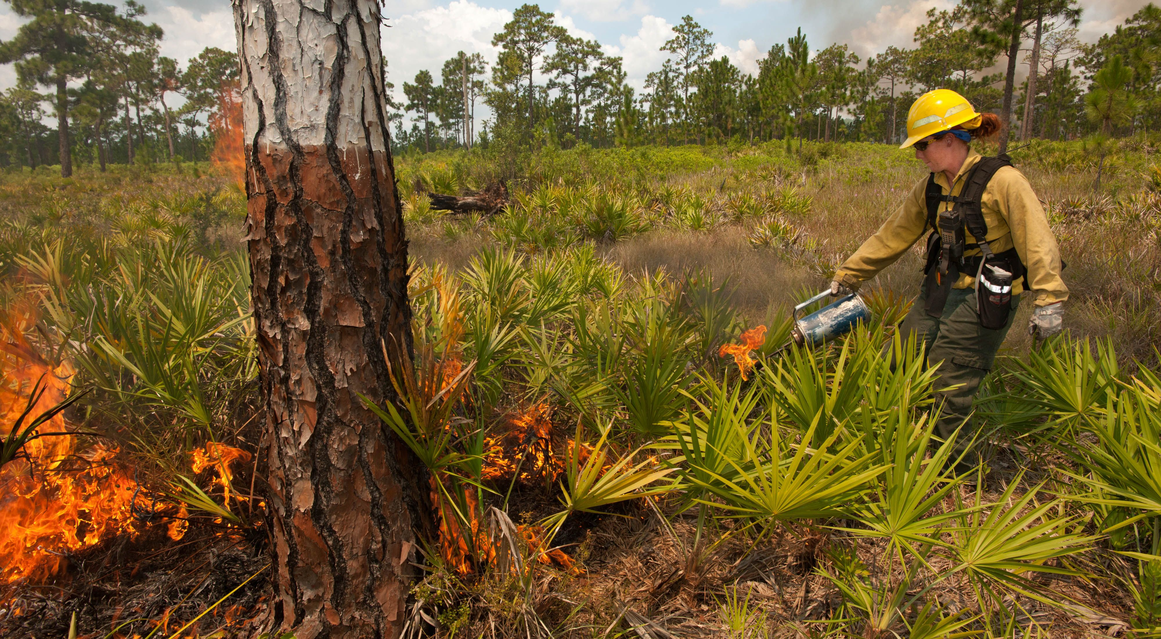 Florida Fire practitioner lights the prescribed fire with a drop torch.