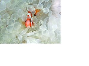 in Bleaching Anemone, photographed in the waters at Lembeh Strait, Buyat Bay, North Sulawesi, Indonesia.