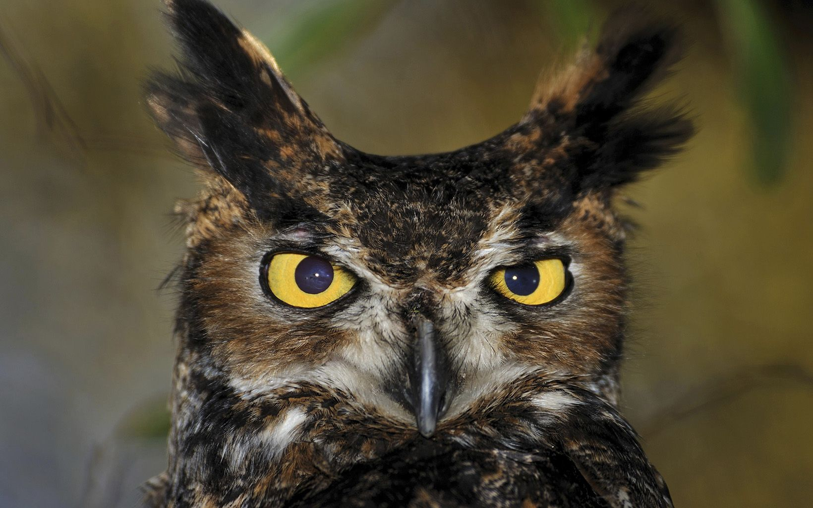 A head shot of a brown owl shows off its yellow eyes.