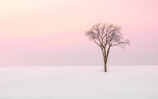 Lone bare tree in snow with pink-hued sky
