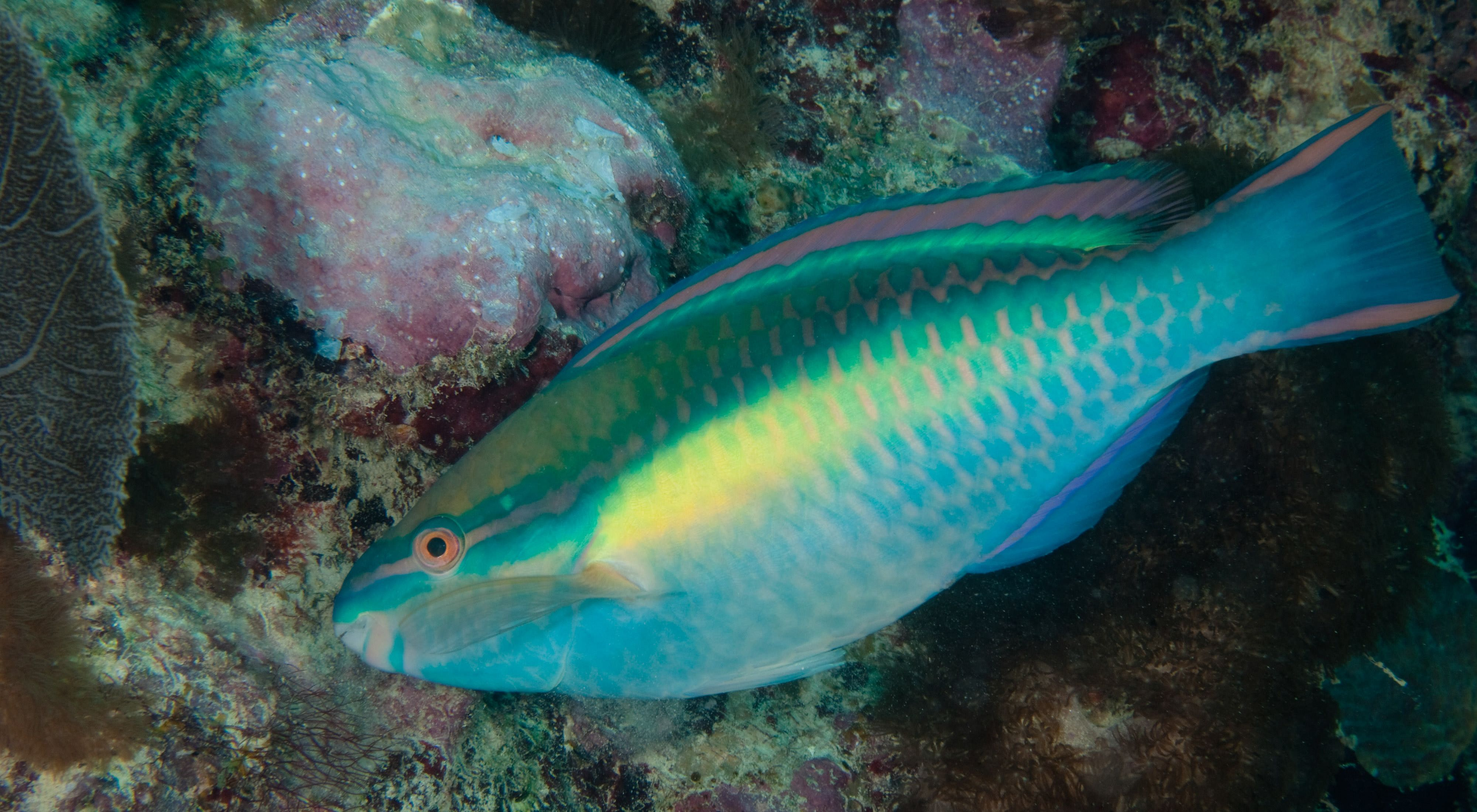 side view of a green and yellow tropical fish