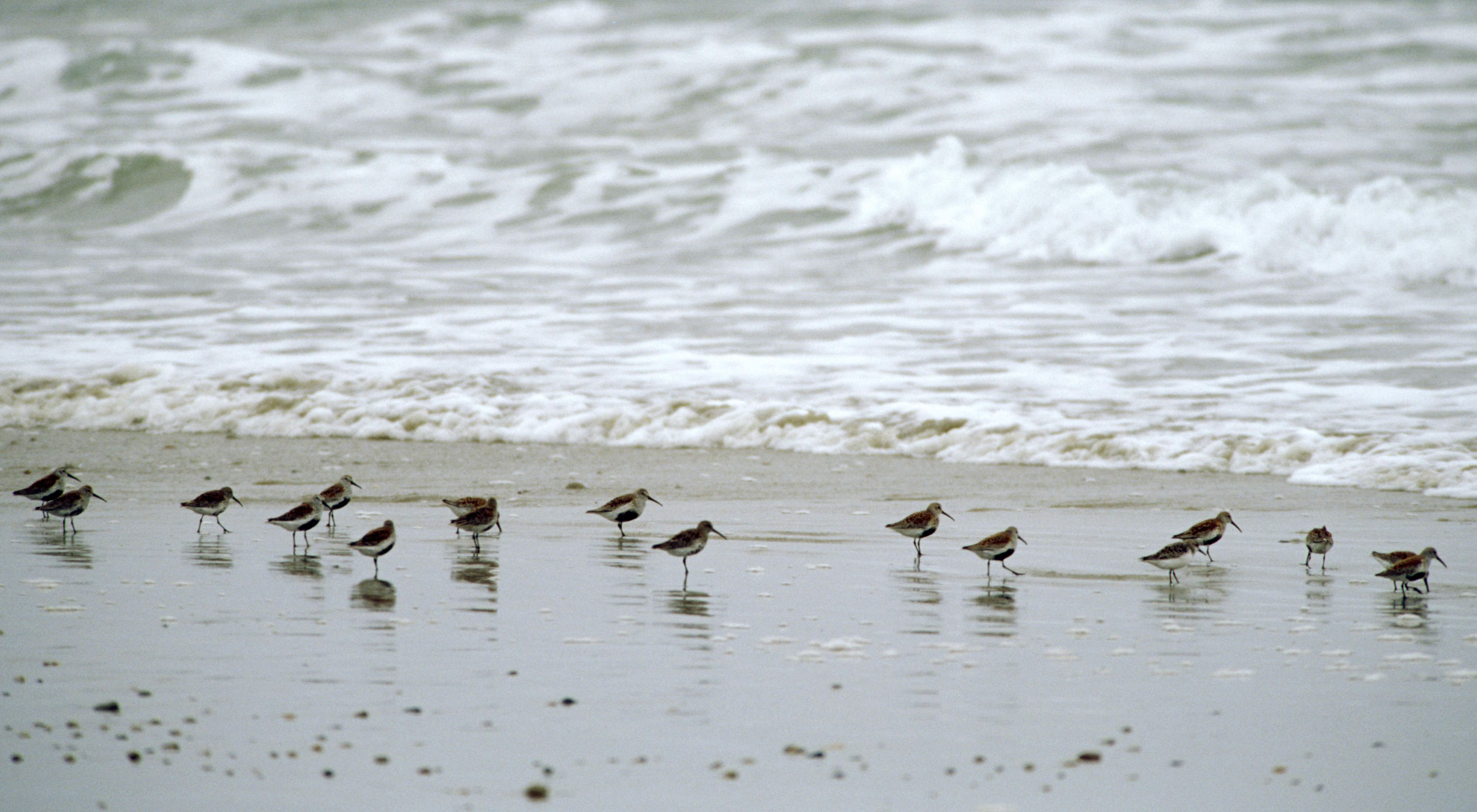 About a dozen piping plovers on the sand along the surf.
