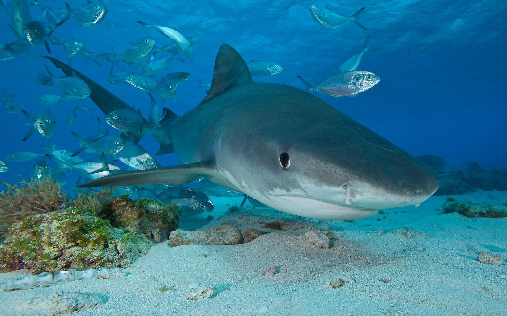 front view of a shark with silver fish swimming in the background