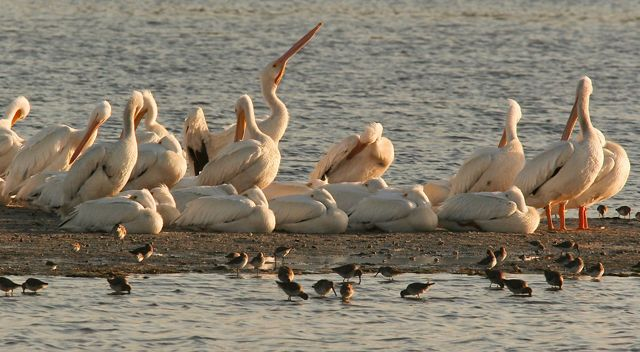A row of white pelicans on a sand bar with smaller wading birds in the water in the foreground.