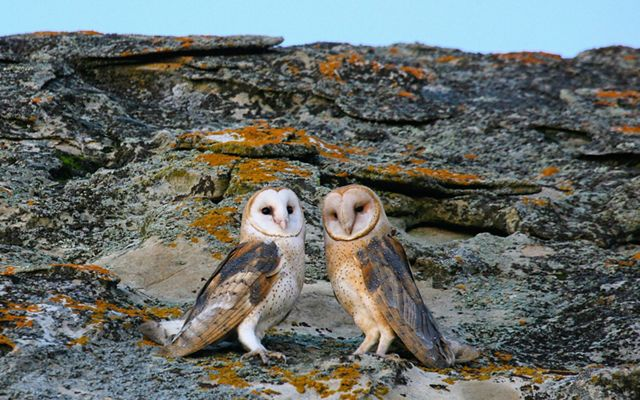 Two white, tan and black owls stand side-by-side on lichen-covered rocks.