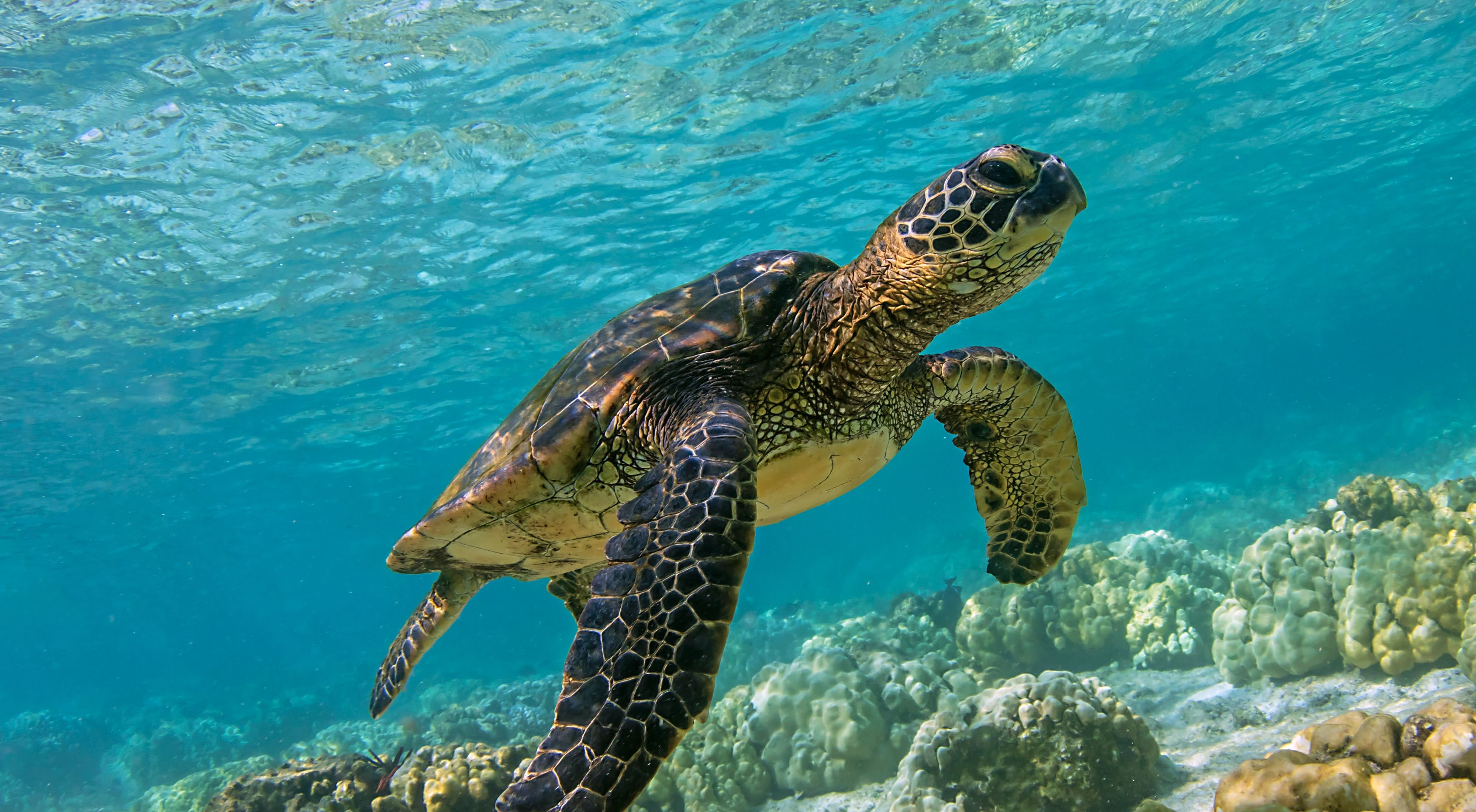 a small sea turtle swimming in clear, blue water