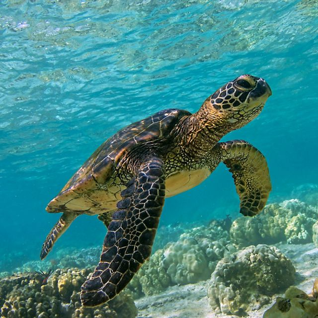 Hawaiian green sea turtle swims in the Hawaii waters.