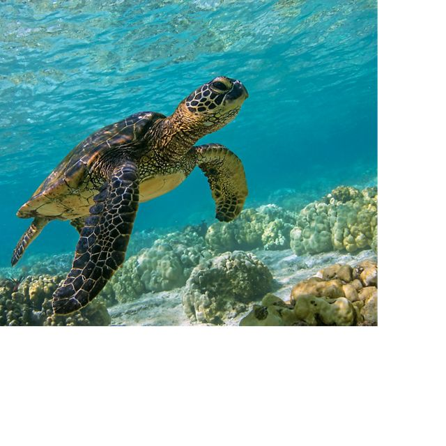 Hawaiian Green Sea Turtle (Honu) swimming in the shallow waters of Kahalu'u Beach, Big Island, Hawaii.
