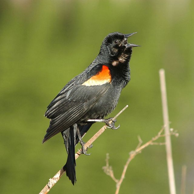 A male Red-winged Blackbird (Agelaius phoeniceus) in song.
