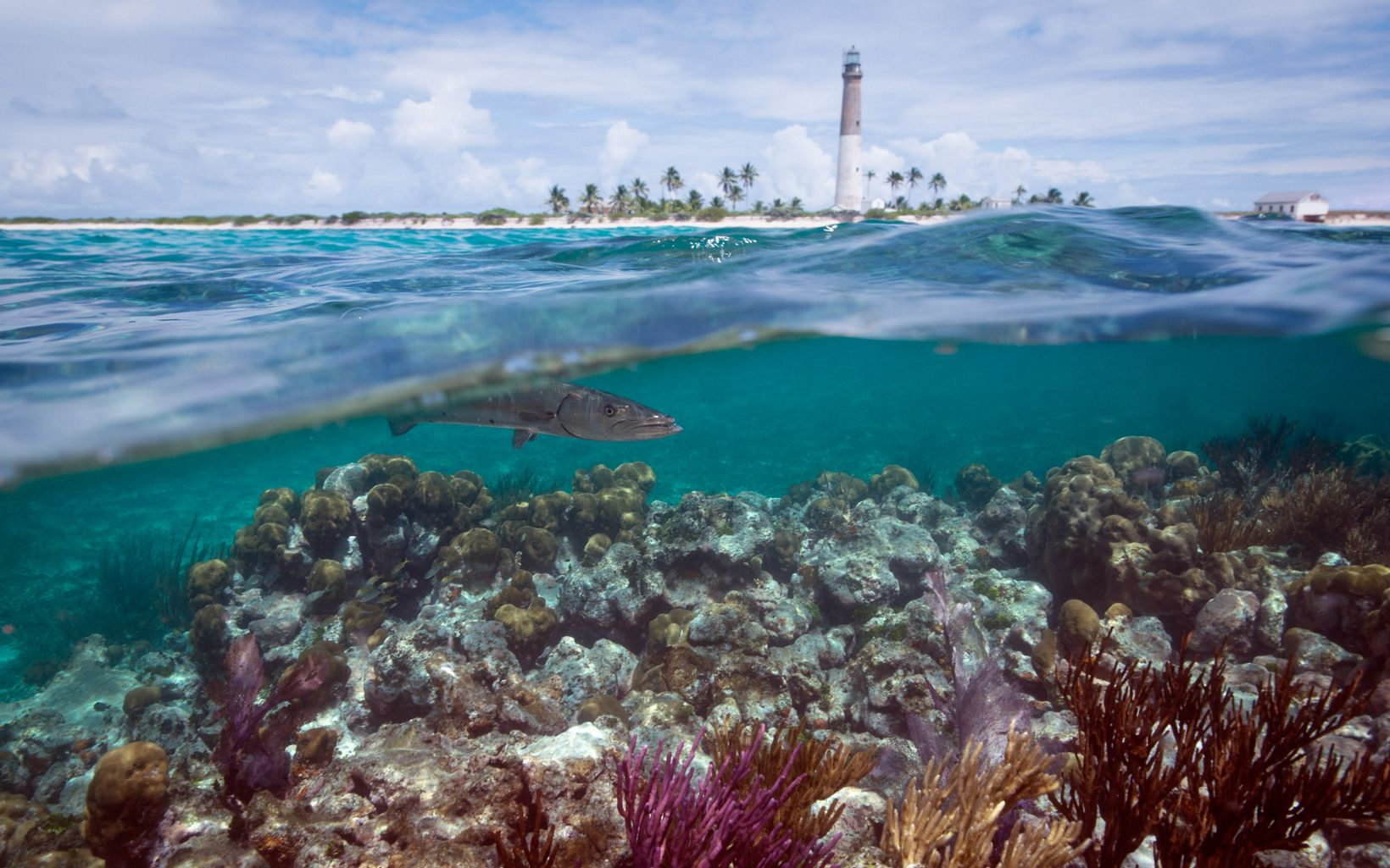 Barracuda swimming over reef with Loggerhead Key Lighthouse in the background, Loggerhead Key, Dry Tortugas National Park, Florida.