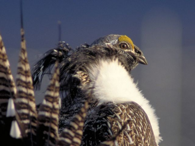 Profile view of the highly imperiled, Gunnison sage grouse, whose habitat is the sagebrush shrublands along the Gunnison river in western Colorado.