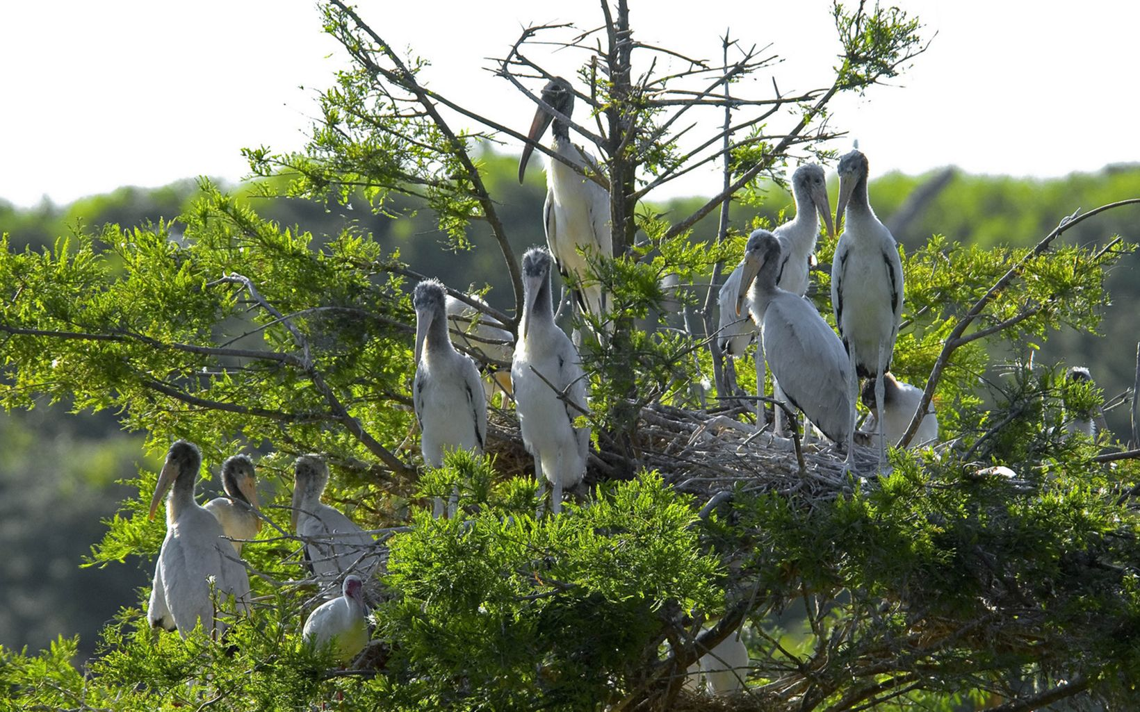 Ten large white birds sit in a tree top around a large