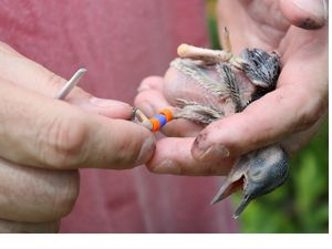 Red-cockaded woodpecker chick being banded