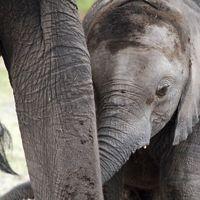 Baby elephant holding mothers trunk.