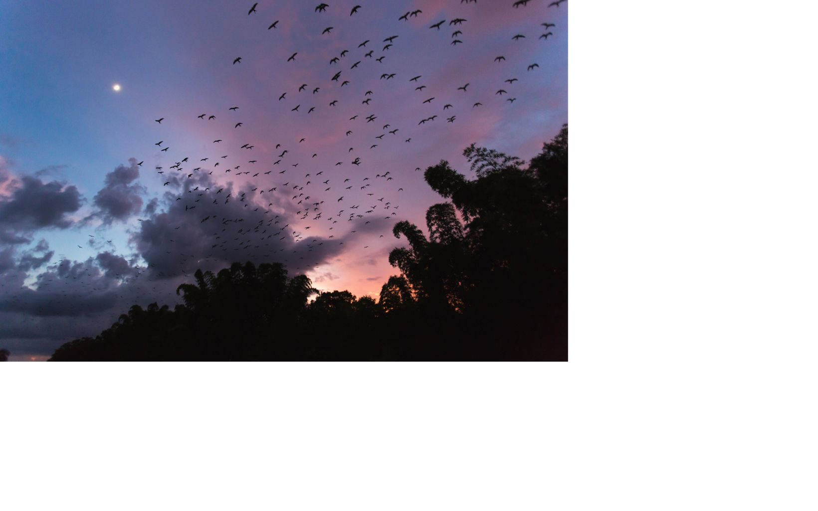 a flock of birds  at sunset above some silhouetted trees