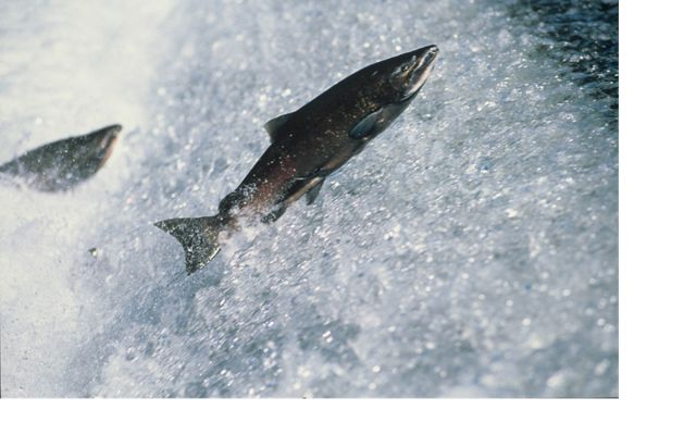 Adult chinook salmon (Oncorhynchus tshawytscha) jump up waterfall on their journey home to spawning waters.