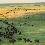 Birds-eye view of cattle moving across the rolling landscape at the Matador Ranch in Montana.