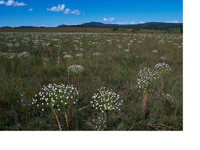Flowers of the Cerrado