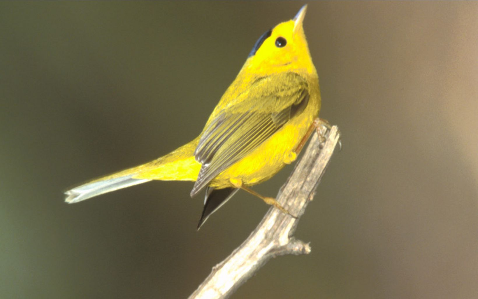 Found across North America, a male wilson warbler perches on a branch.