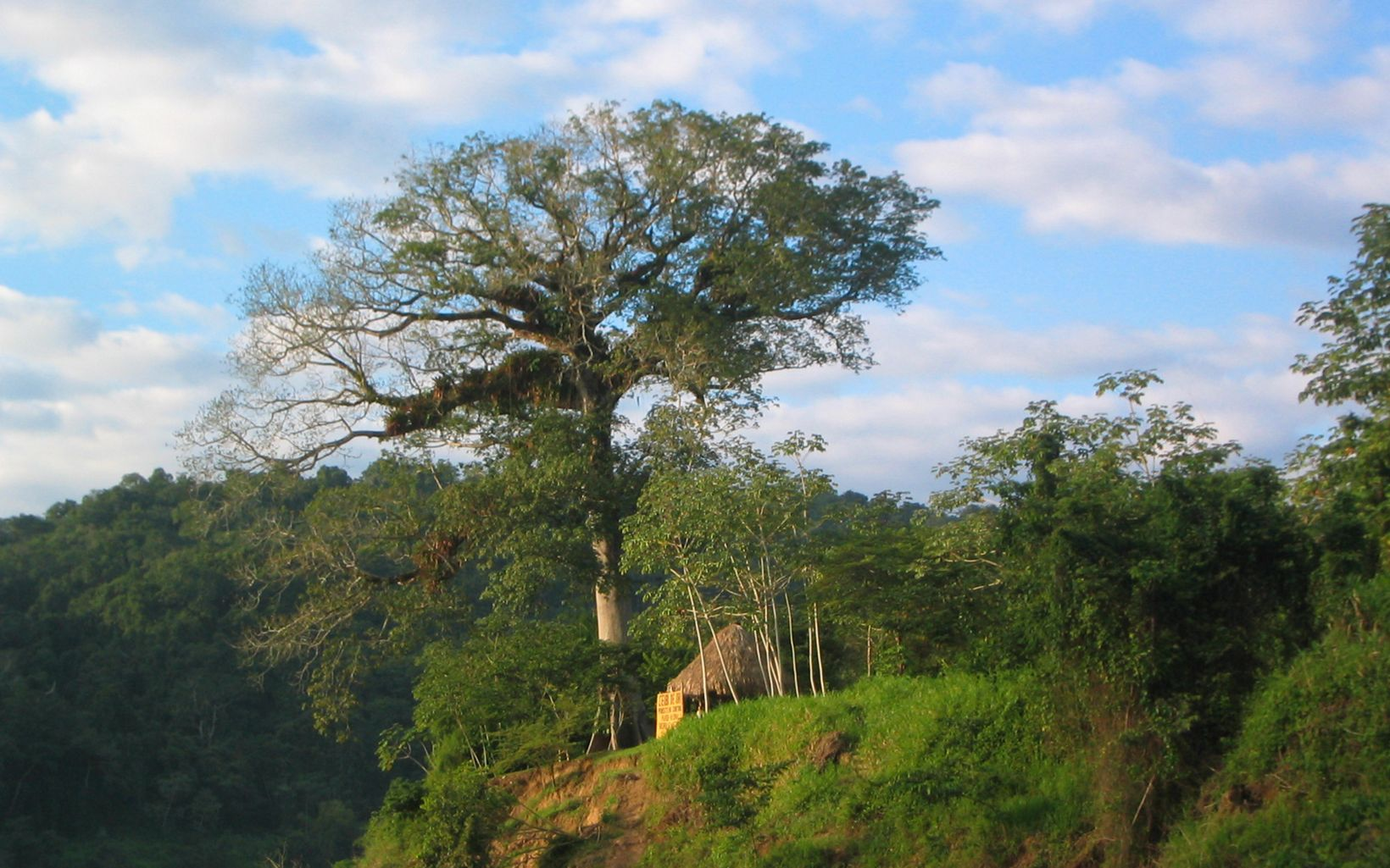 Guatemala's national tree, grows in the Maya Biosphere Reserve of Guatemala.