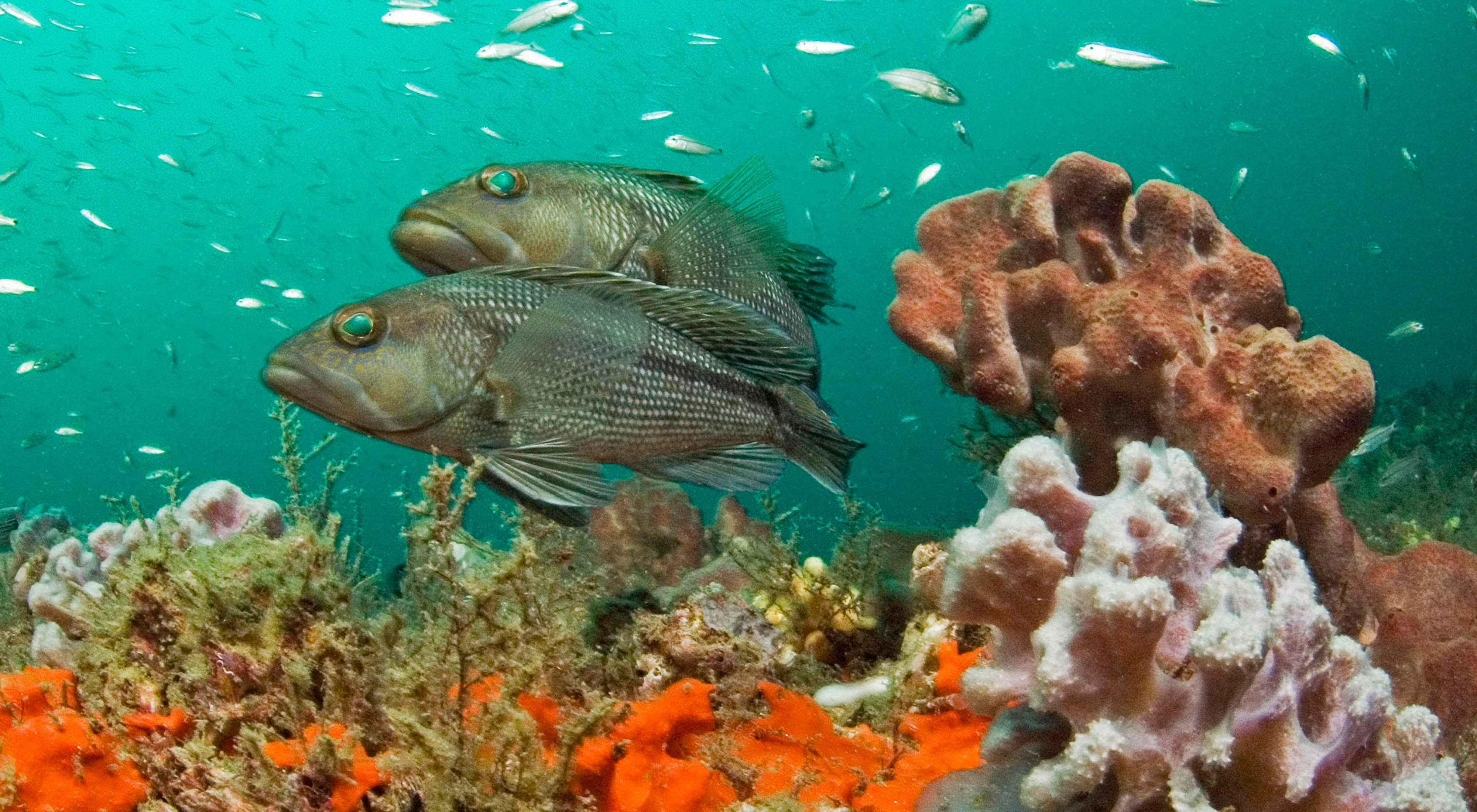Two black sea bass swimming over coral at Grays Reef National Marine Sanctuary off the coast of Georgia