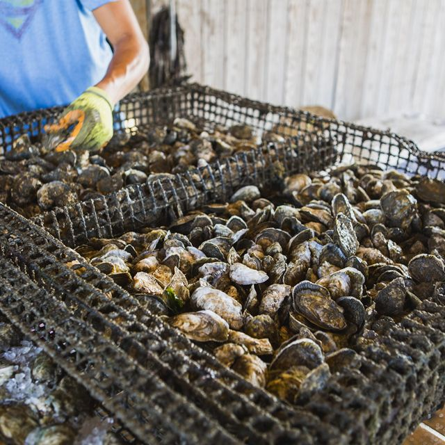A large, flat metal cage of freshly harvested oysters. A man wearing yellow and green gloves stands in the background sorting the oysters.