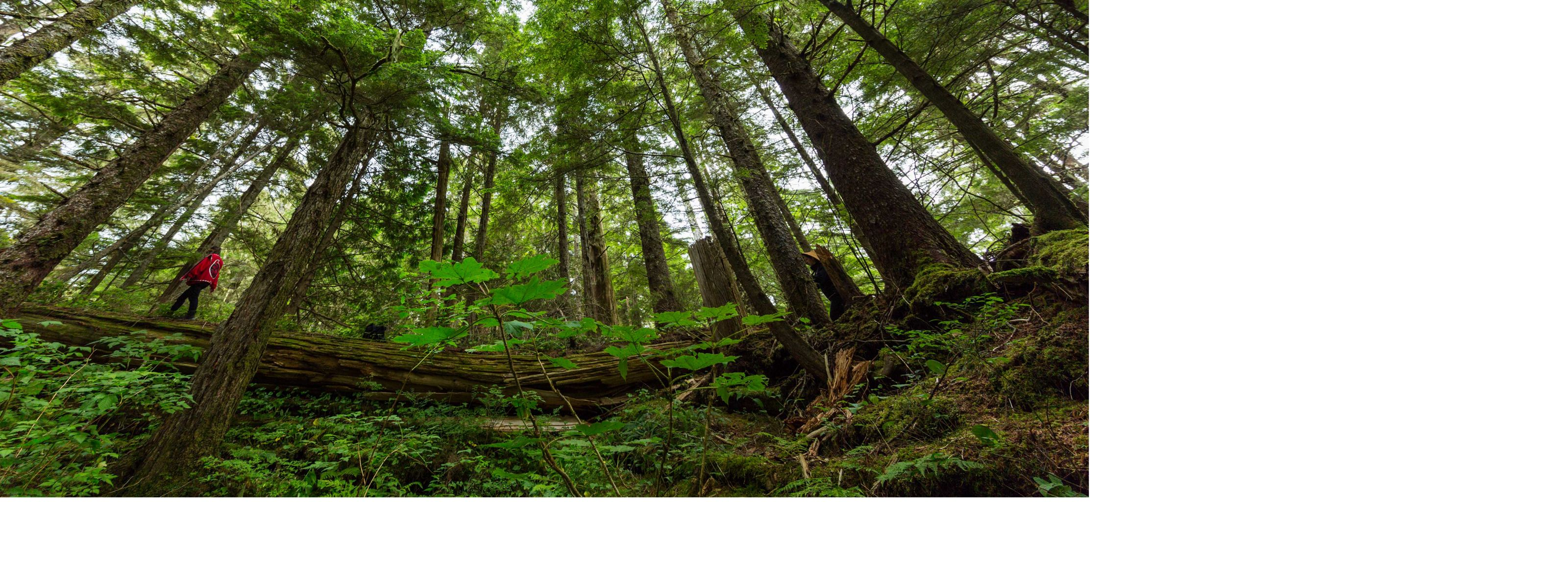 Looking up from the ancient Big House as Laverne Barton walks along one of the fallen logs in Dis'ju, Great Bear Rainforest, BC, Canada.