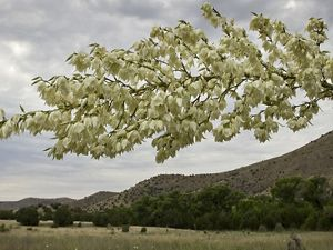 A flowering Yucca plant frames the landscape of The Nature Conservancy's Mimbres Preserve located in southwestern New Mexico near Silver City.