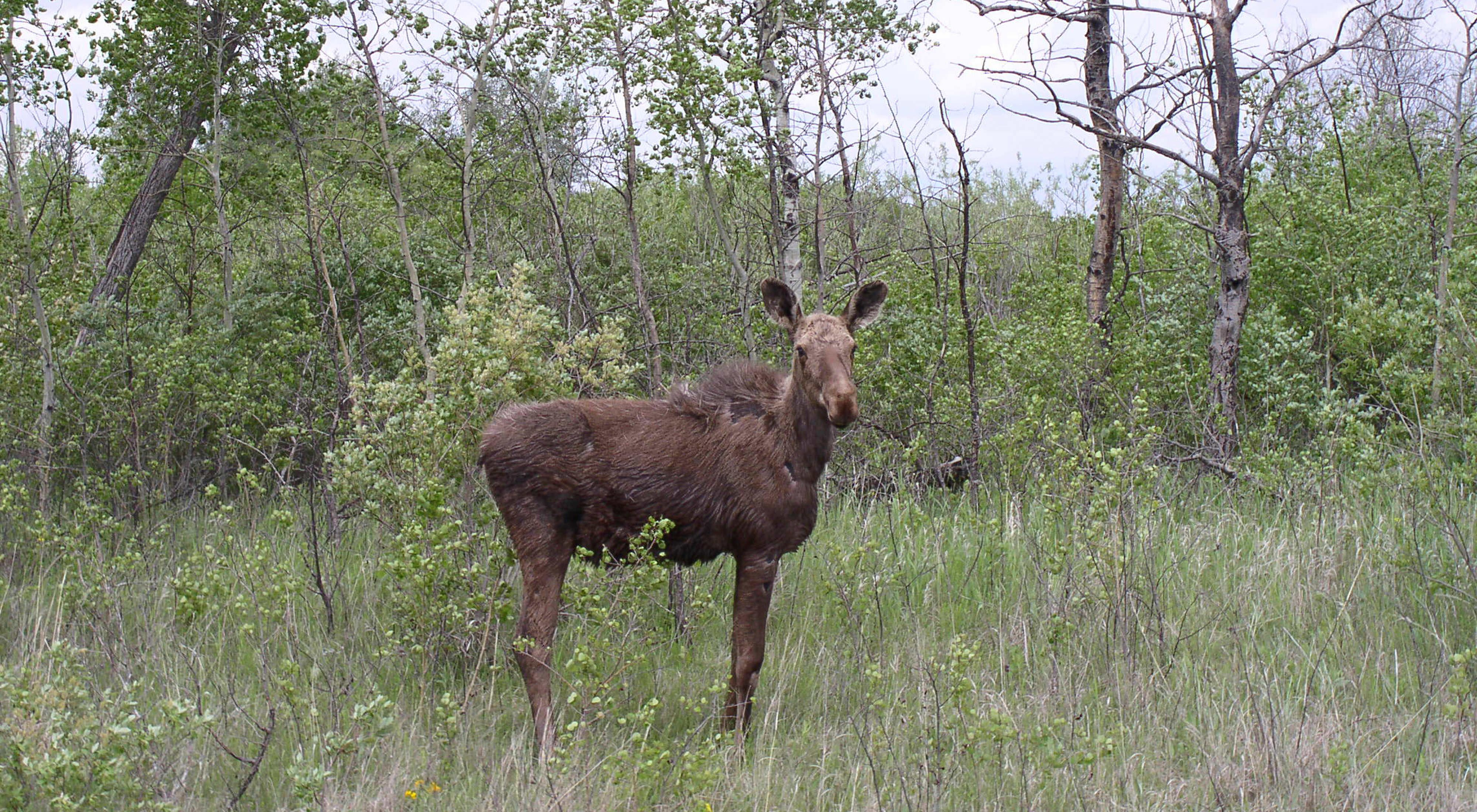 Lone moose at the Glacial Ridge Project for prairie and wetland restoration in northwestern Minnesota
