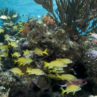 Yellow fish swim through a coral reef in shallow water