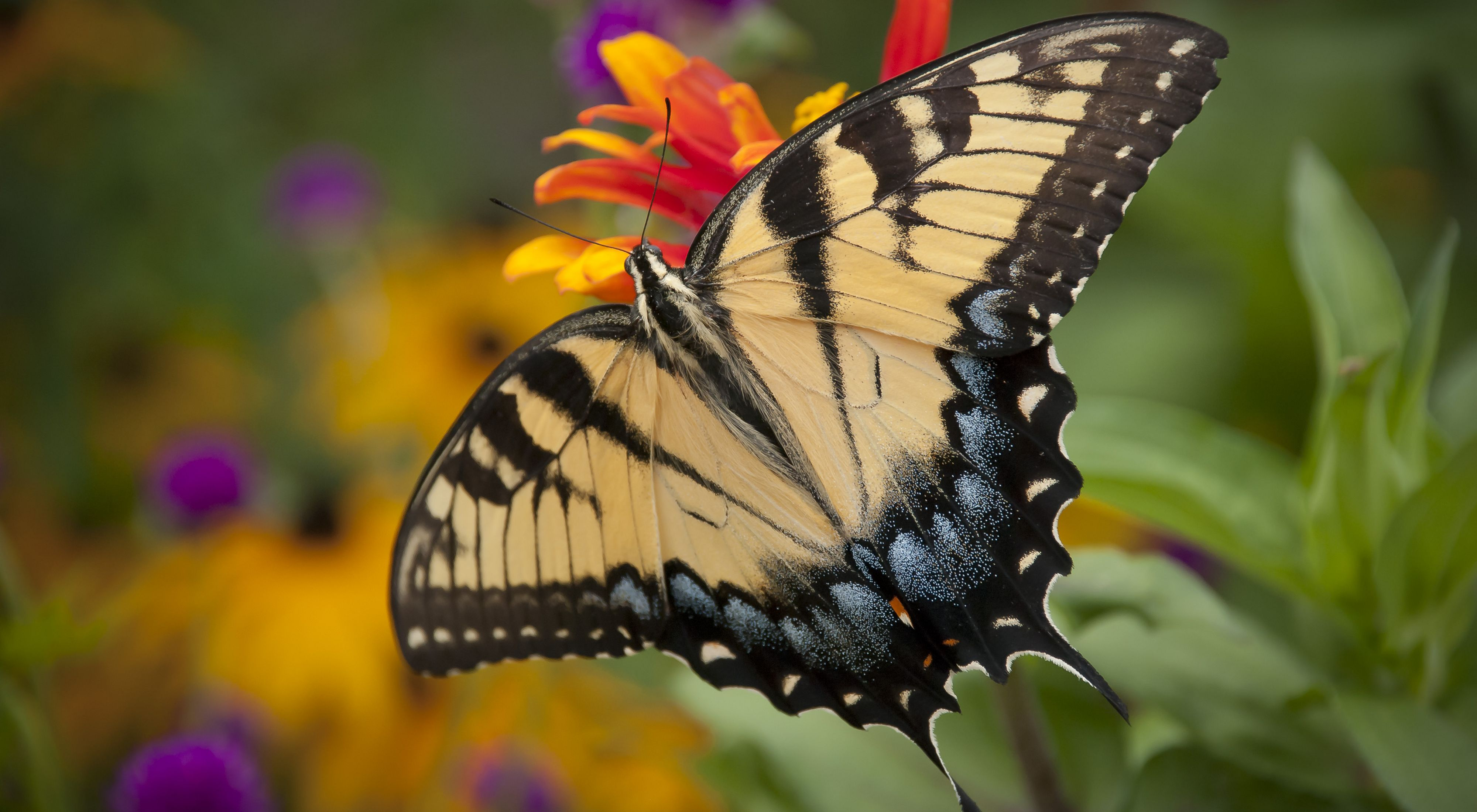 A butterfly with black and indigo tipped yellow wings sips nectar from a yellow and orange flower. Green leaves and yellow and purple blossoms are in the background.