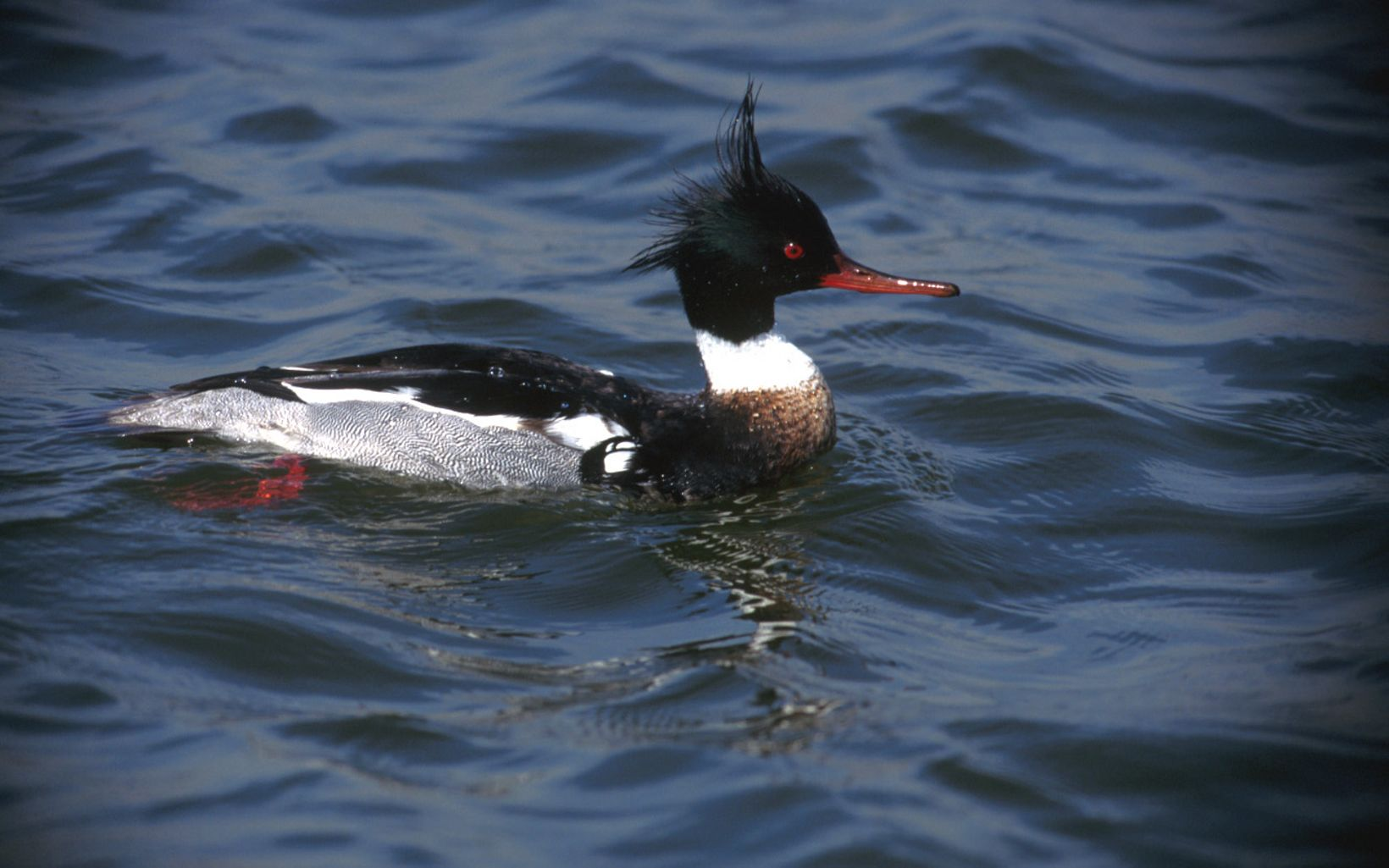 This slim, crested duck forages by diving and swimming underwater to hunt small fish.
