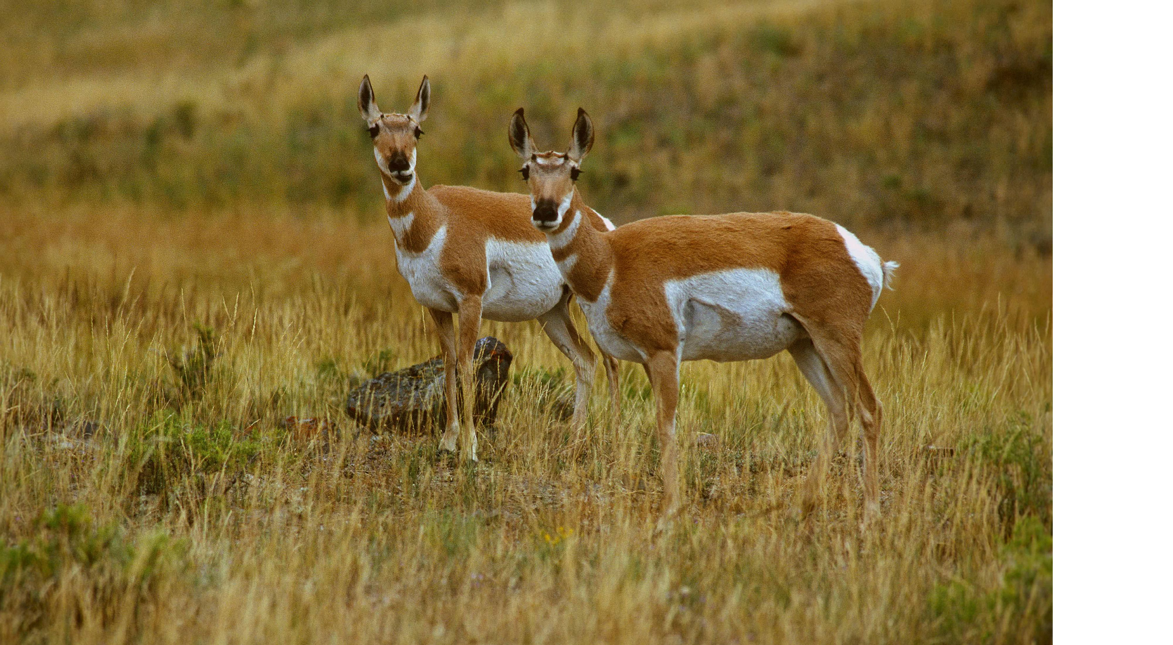 is the most characteristic large mammal of the Great Plains and also the fastest mammal in North America.  This pair was photographed in Wyoming.