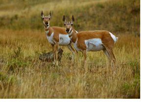 sideview of two small antelope in yellow-green grass