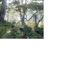 Trabajadores en plantaciones de café en Guatemala