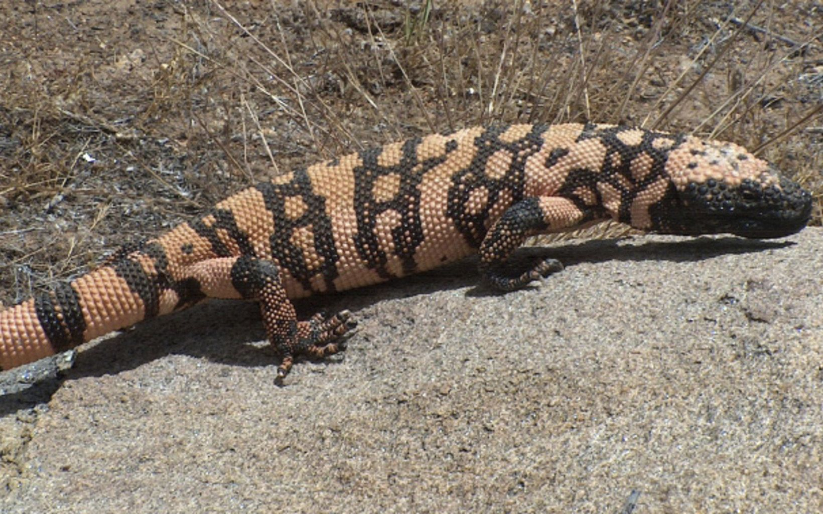 Gila Monster Parklet Slideshow 720 by 500