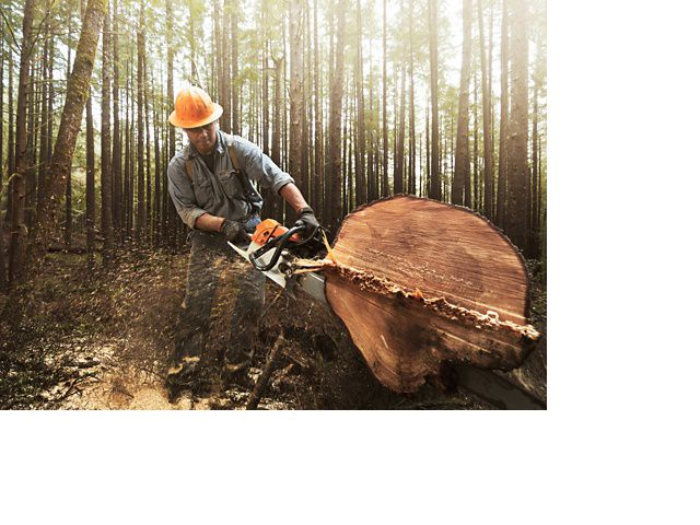 A western hemlock is being cut with a chainsaw.