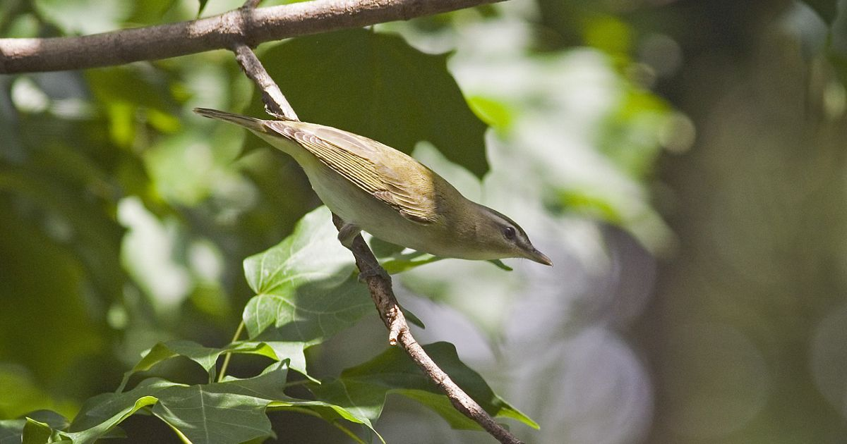 A Red-eyed Vireo (Vireo olivaceus) photographed late summer in the Washington, DC area.