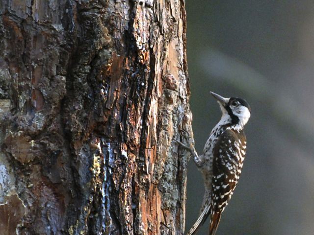 red-cockaded-woodpecker