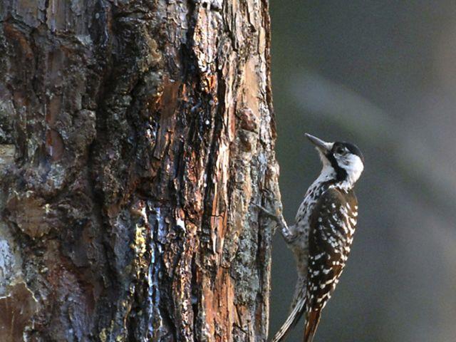 red-cockaded-woodpecker