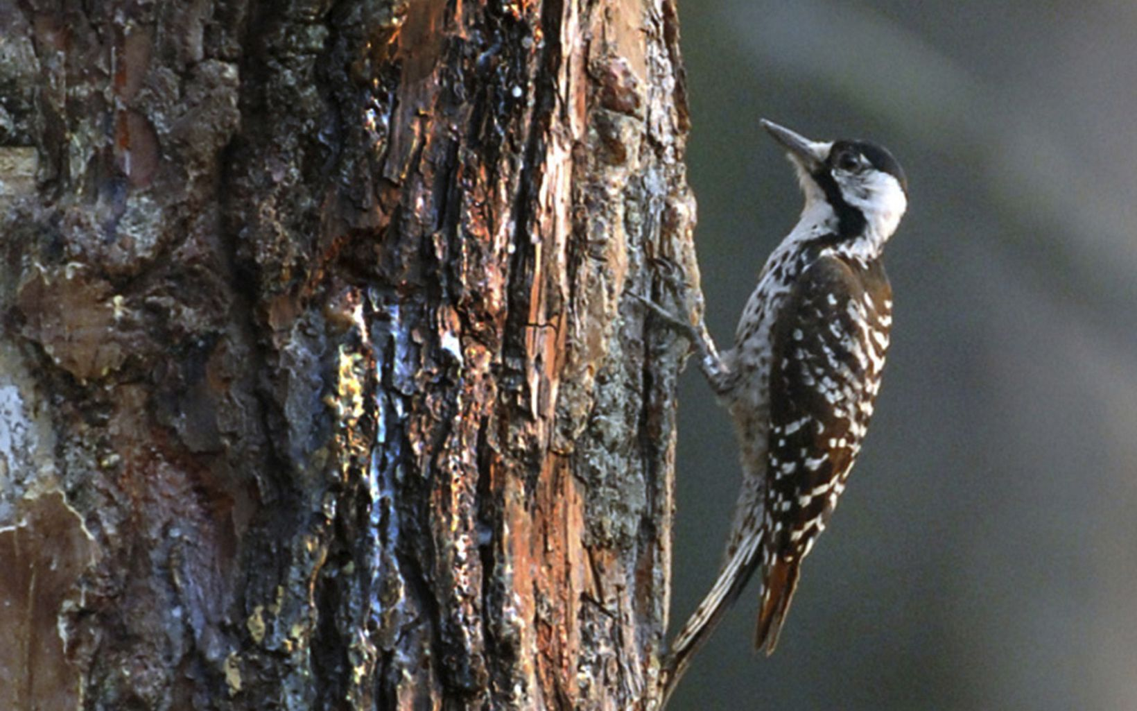 The red-cockaded woodpecker (Picoides borealis) is the only woodpecker species that nests exclusively in live trees.
