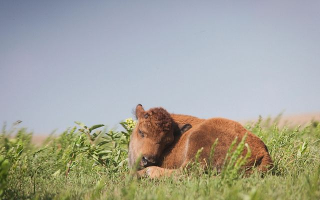 Bison calf resting in green grasses under a blue sky.