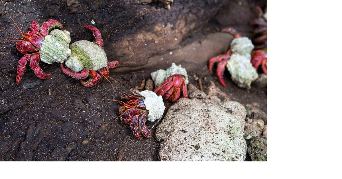 Coconut crabs crawl on rocks on Palmyra Atoll